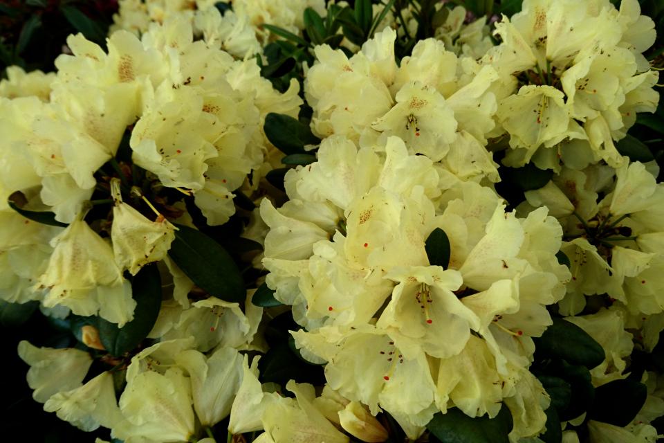 """Цветы рододендрона """"Millennium Gold"""""""