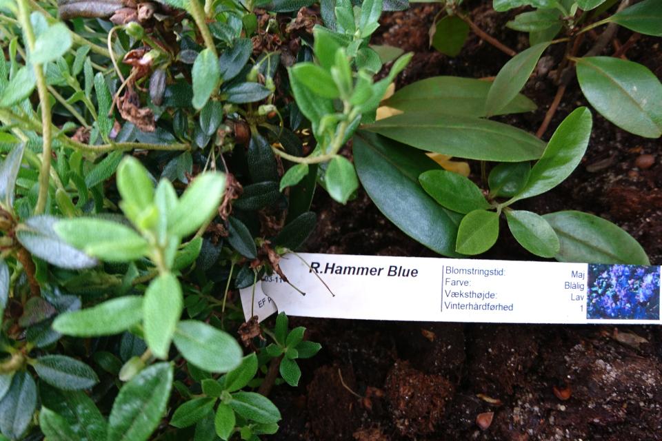 "Рододендрон ""Hammer blue"". Фото 29 мая 2019, Rhododendron-Haven"