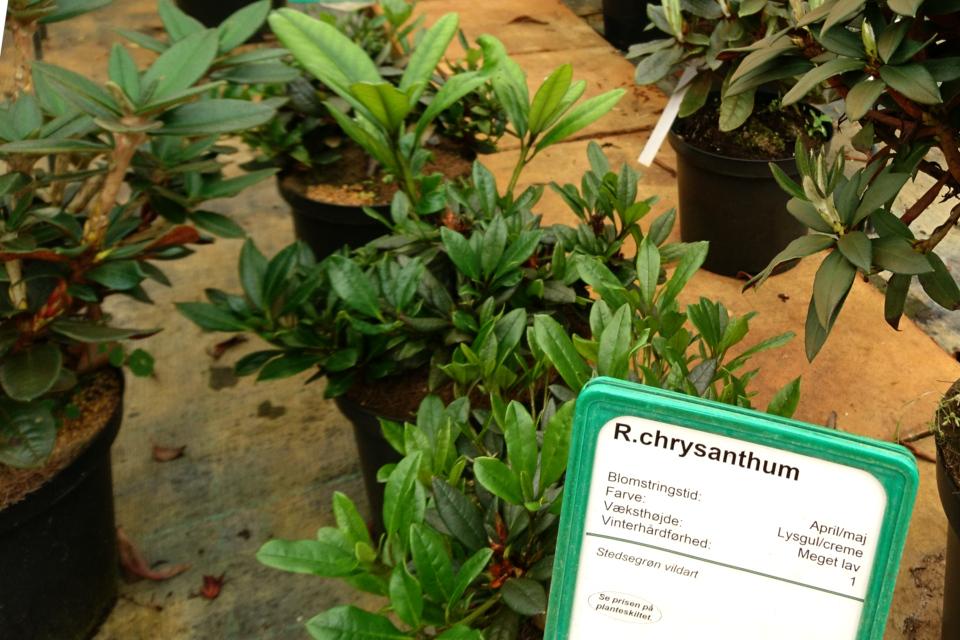 Рододендрон золотистый (Rhododendron chrysanthum)