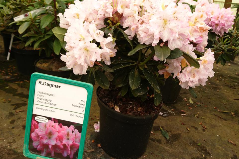 """Рододендрон """"Dagmar"""" с нежнорозовыми ароматными цветами"""