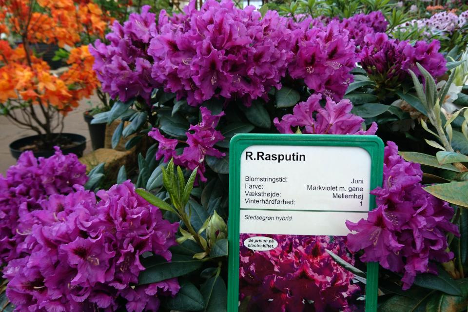 """Роскошноцветущий рододендрон """"Rasputin"""""""