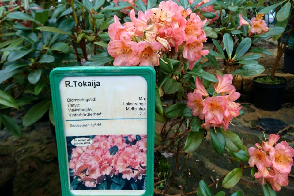 "Рододендрон ""Tokaija"" в питомнике Rhododendron-Haven"