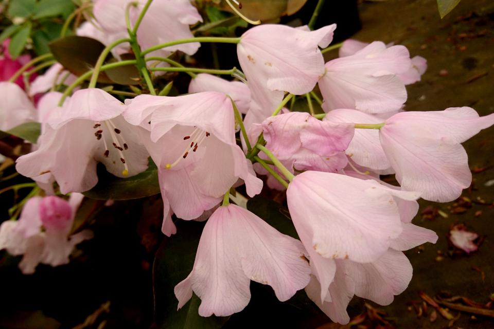 """Рододендрон """"Blauköpfchen"""". Фото 29 мая 2019, Rhododendron-Haven"""