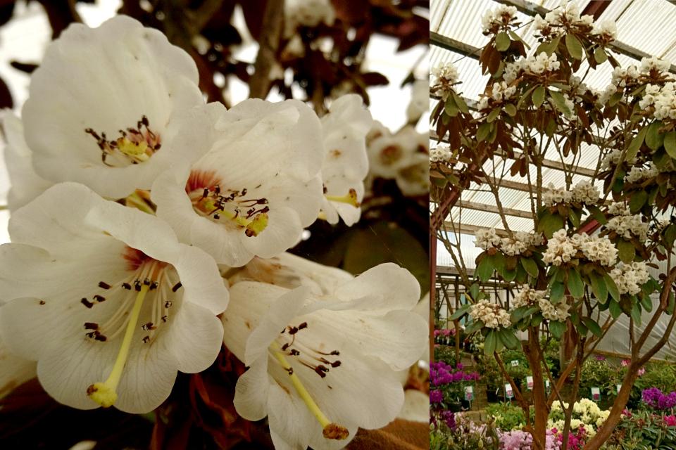 Рододендрон козел (Rhododendron falconeri) с цветами в питомнике