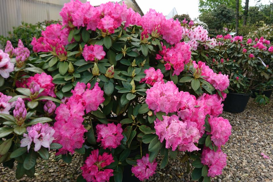 """Рододендрон """"Germania"""" в питомнике Rhododendron-Have, Дания"""
