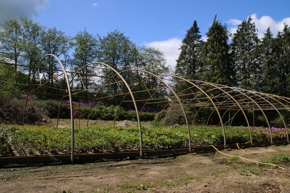 Питомник для выращивания рододендронов. Фото 29 мая 2019, г. Тёрринг, Дания