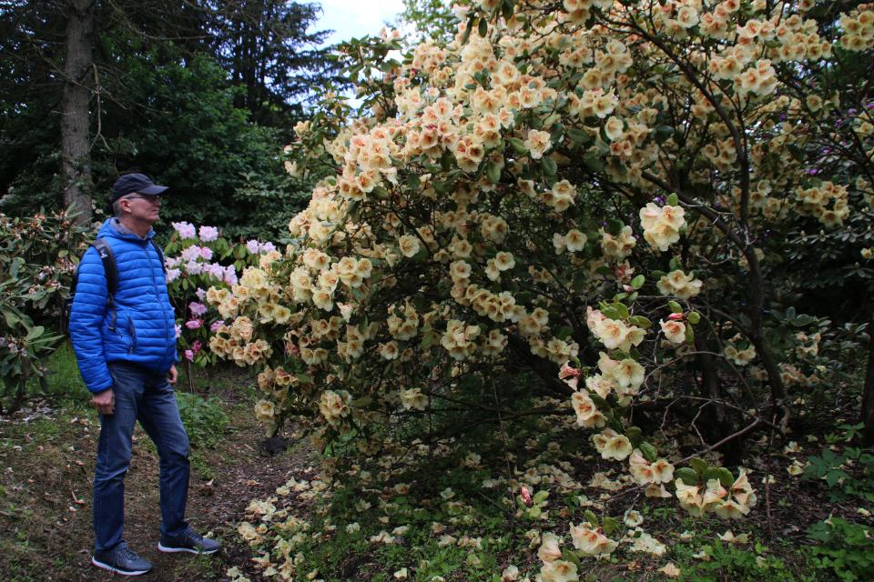 Обильноцветущий куст рододендрона в парке Тёрринг / Tørring, Дания