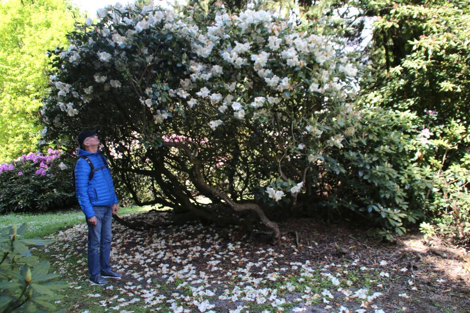 Трехметровый куст рододендрона в парке Тёрринг / Tørring, Дания