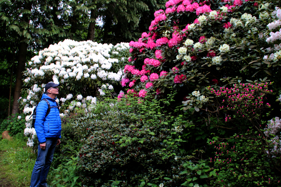 Цветущий куст R. diadem в парке рододендронов Тёрринг, Дания