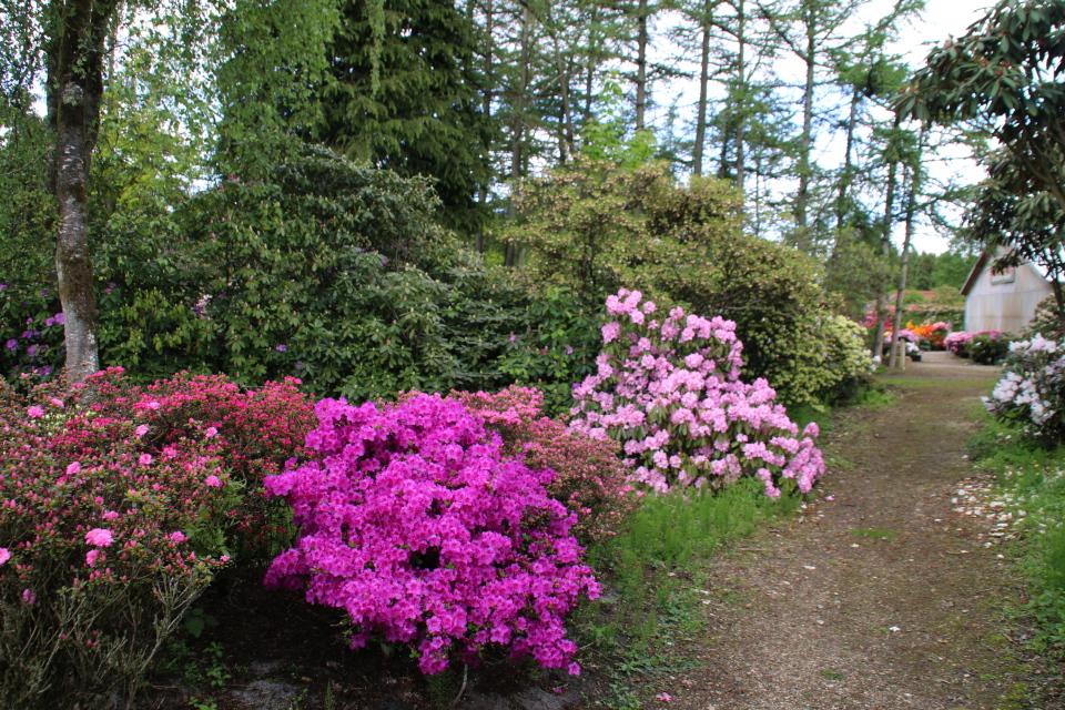 Сад рододендронов Тёрринг, в глубине - питомник, г. Тёрринг/ Tørring, Дания