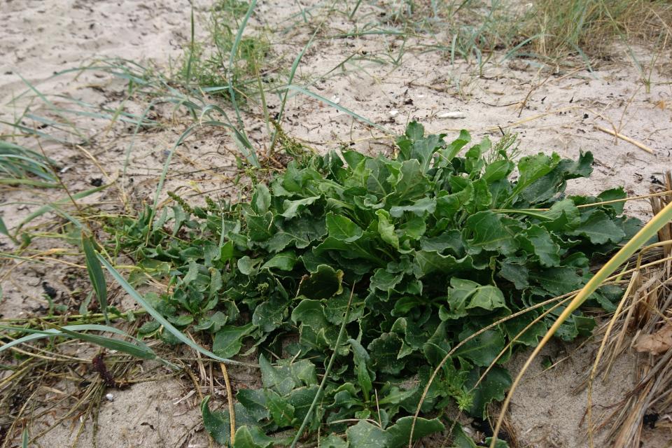 Свекла морская (лат. Beta vulgaris subsp. maritima, дат. strandbede)
