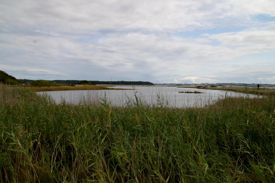 Берег, заросший тростником. Фото 15 авг.2019, Остров чаек, Ugelbølle (Rønde), Дания