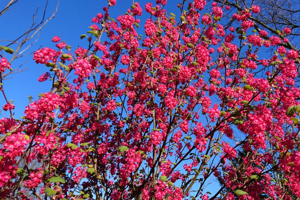 Смородина кроваво-красная (Ribes sanguineum) в цвету