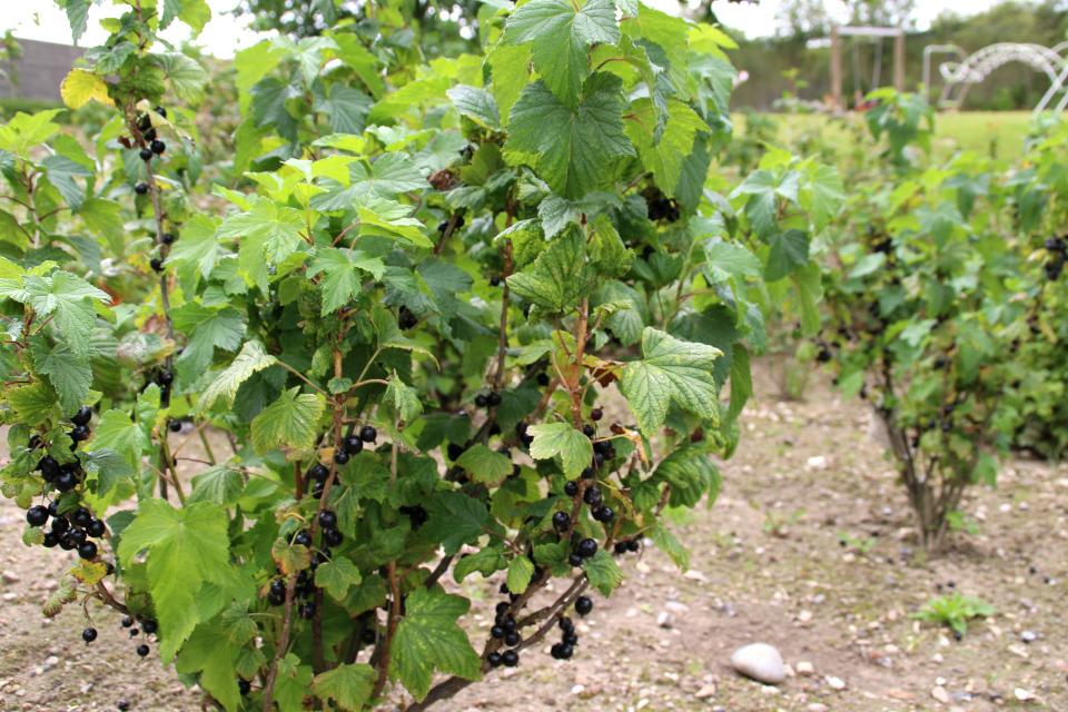 Кусты со спелыми ягодами черной смородины