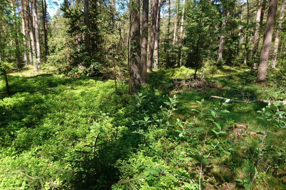 Черёмуха поздняя (лат. Prunus serotina) прорастает в сосновом лесу