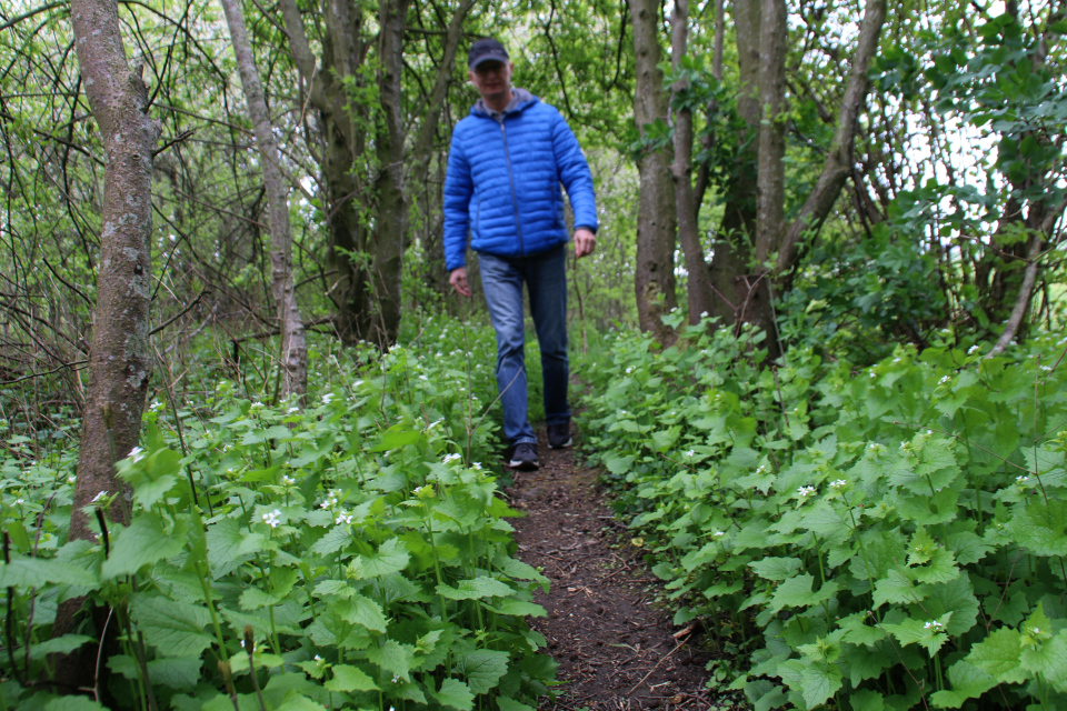 Чесночница растет в лесу возле озера, Дания
