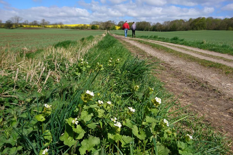 Чесночница черешчатая растет по краю пшеничного поля