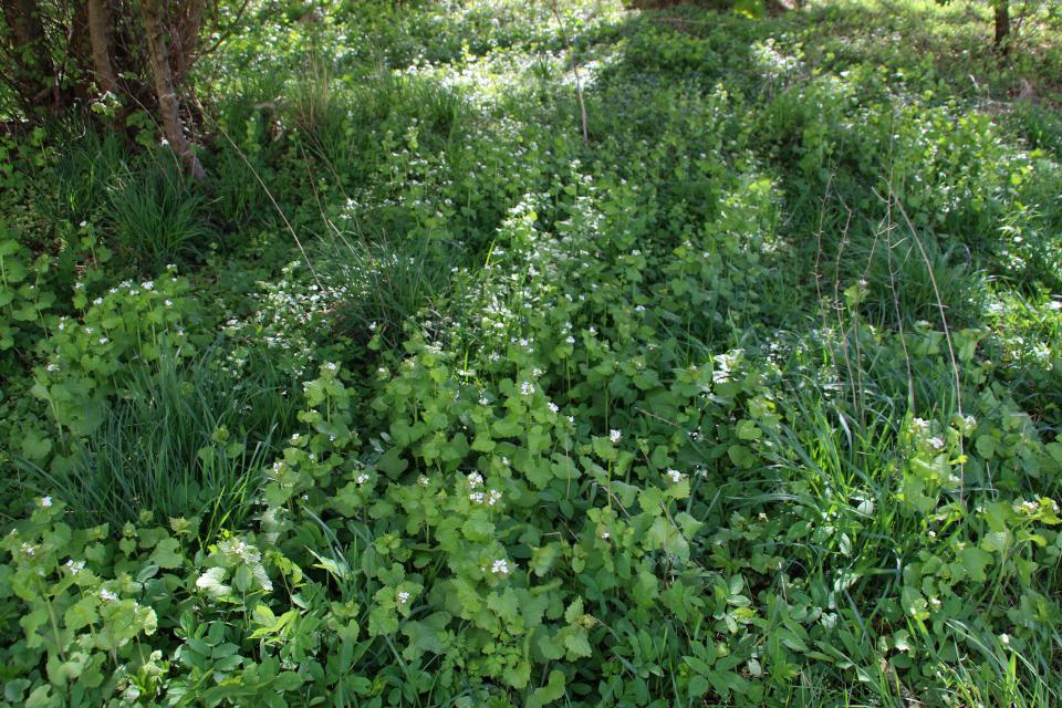 Заросли дикорастущего чесночника на опушке леса