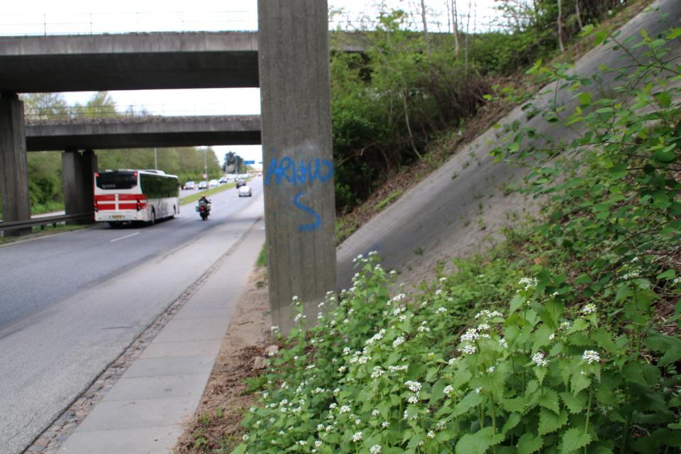 Чесночница черешчатая (Alliaria petiolata) проросла вдоль дороги под ж/д мостом