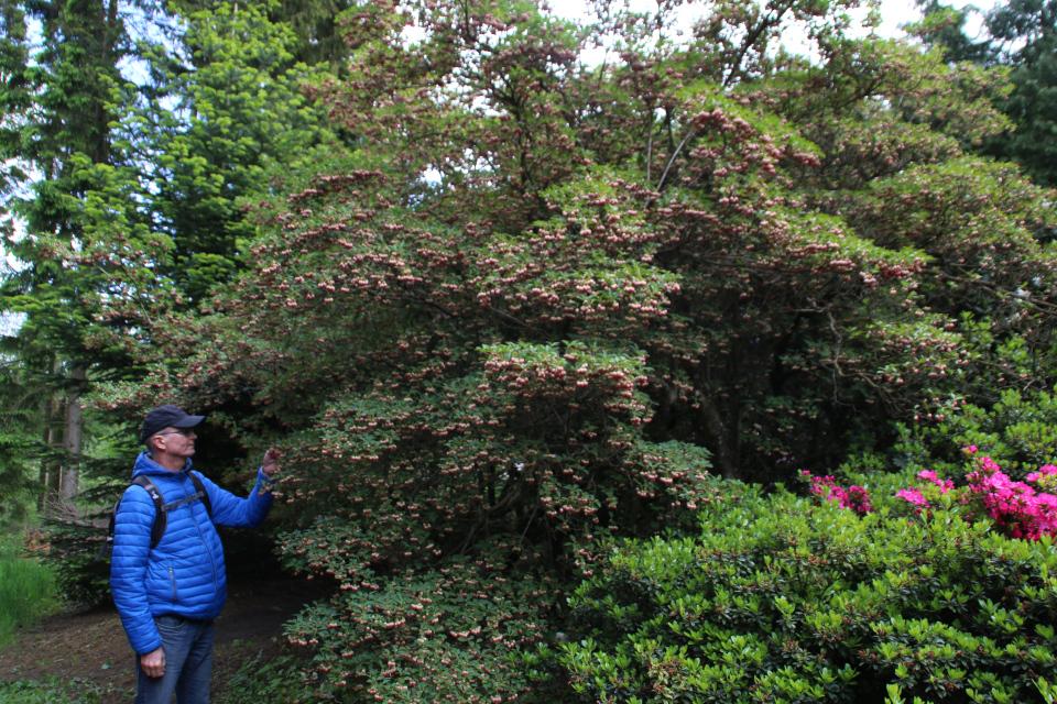Высокий куст энкиантуса (Enkianthus) в полном цвету.