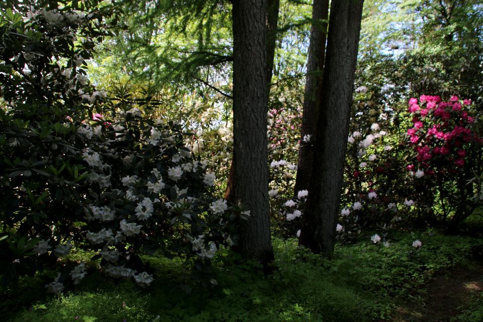 Теневыносливые виды и сорта рододендронов в парке, г. Тёрринг, Дания