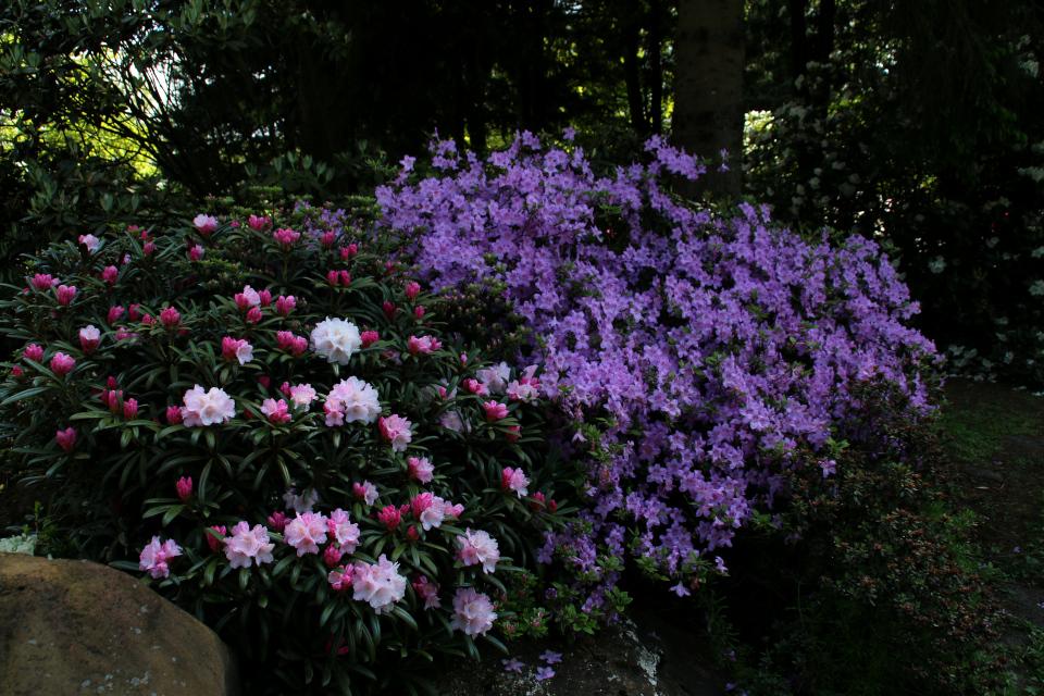 Цветущие кусты рододендронов под пологом высоких деревьев.