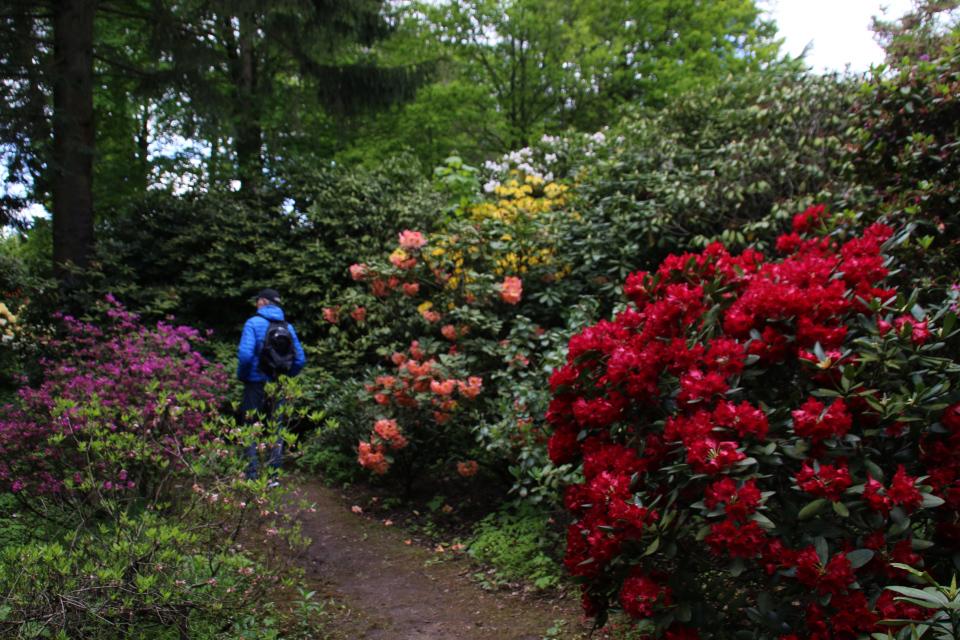 Кусты рододендронов на лесной опушке. Парк рододендронов Тёрринг, Дания