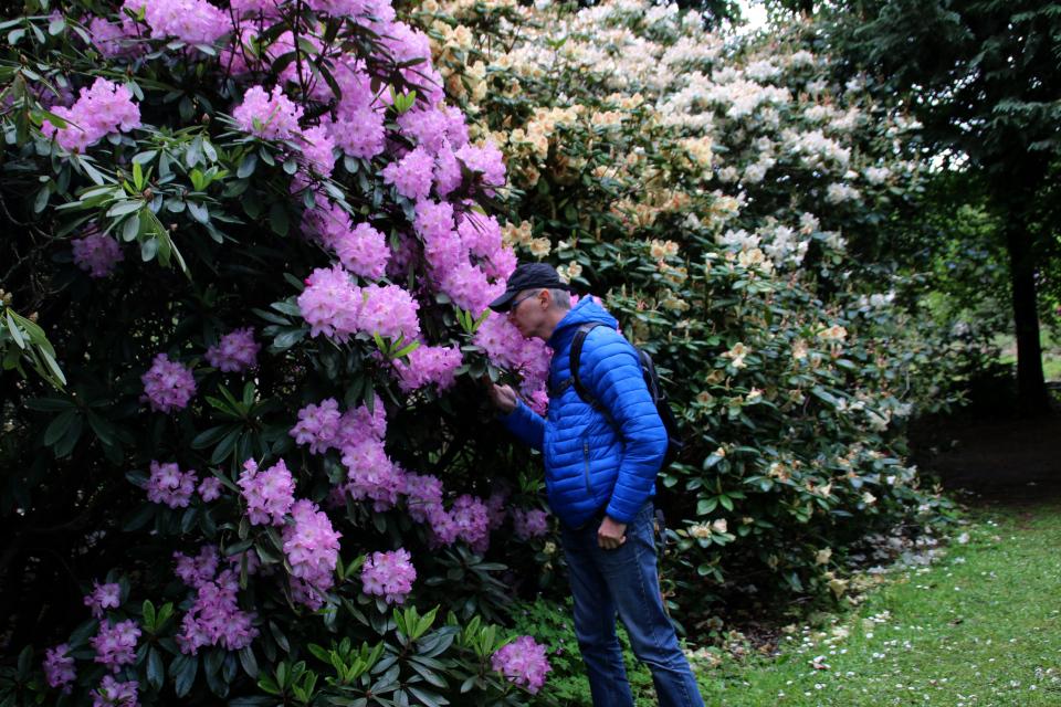Роскошноцветущий куст рододендрона. Парк рододендронов Тёрринг, Дания