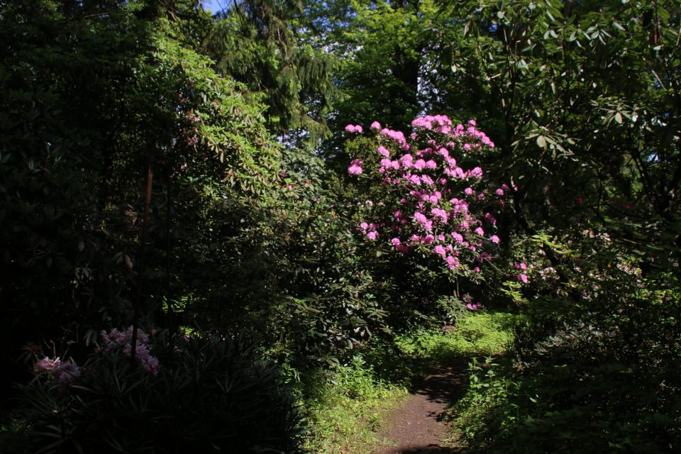 В лесо-парке рододендронов Тёрринг / Tørring, Дания. Фото 29 мая 2019