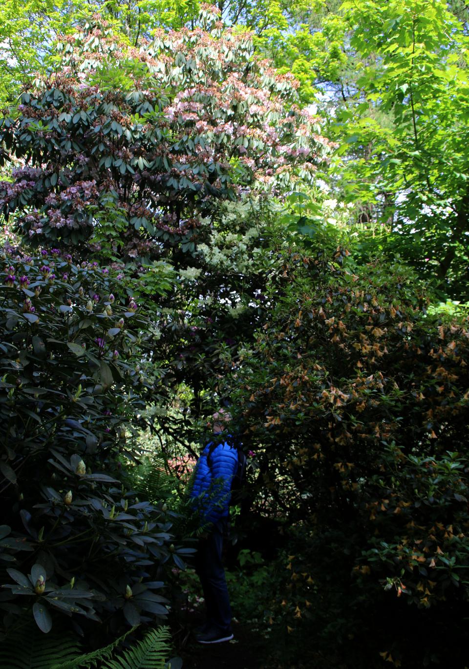 Высокий куст рододендрона в лесопарке, г. Тёрринг, Дания