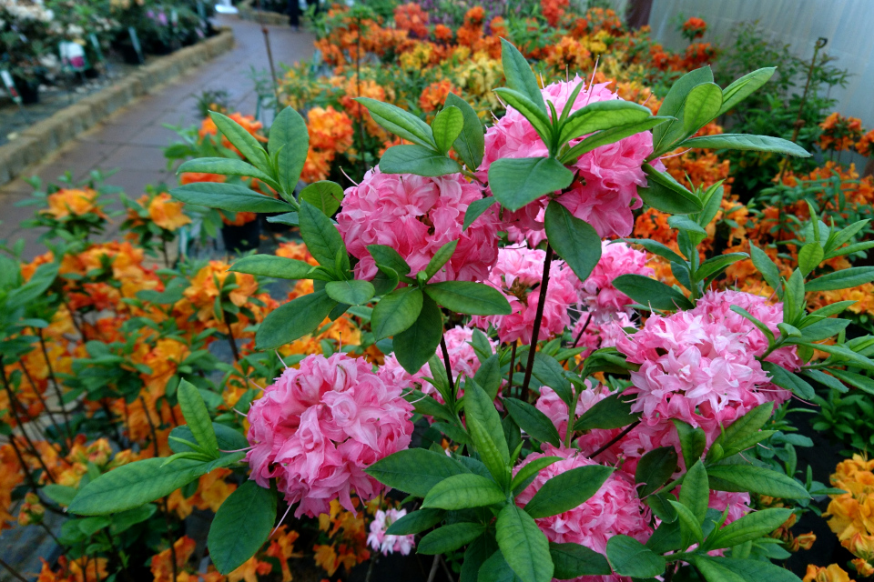 """Шарообразные соцветия рододендрона - азалии """"Homebush"""""""