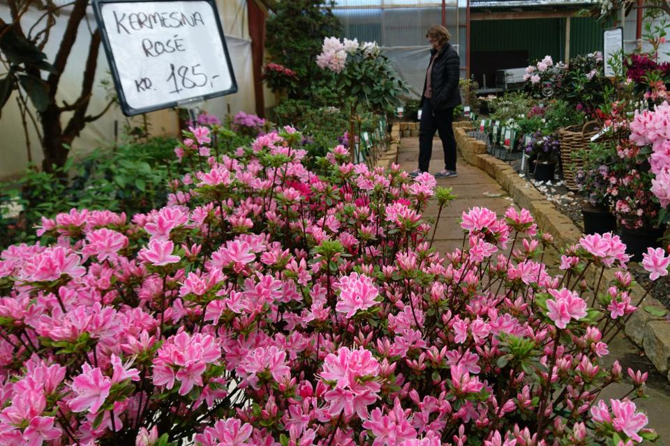 """Азалия """"Kermesina Rosé"""" с розовыми цветами с белыми полосками"""