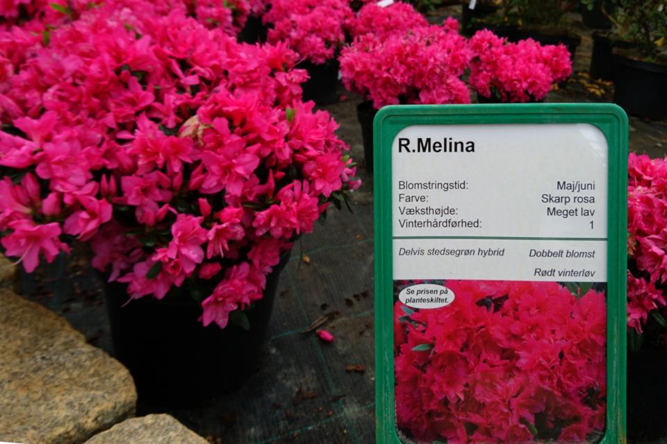 """Низкорослый обильноцветущий сорт рододендрона - азалии, сорт """"Melina"""""""