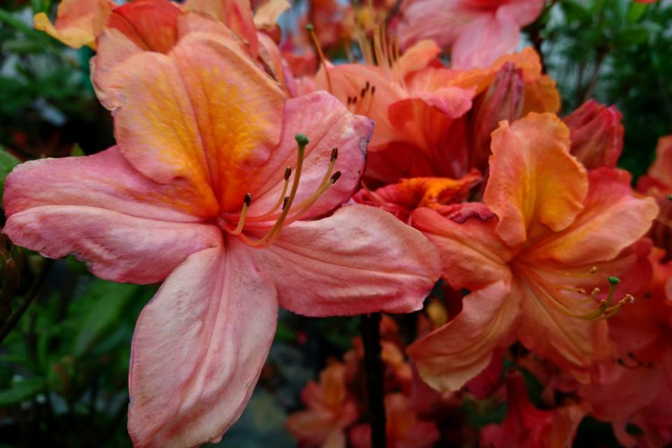 "Азалия ""Tricolor"". Фото 29 мая 2019, Rhododendron-Haven, г. Тёрринг/ Tørring, Дания"