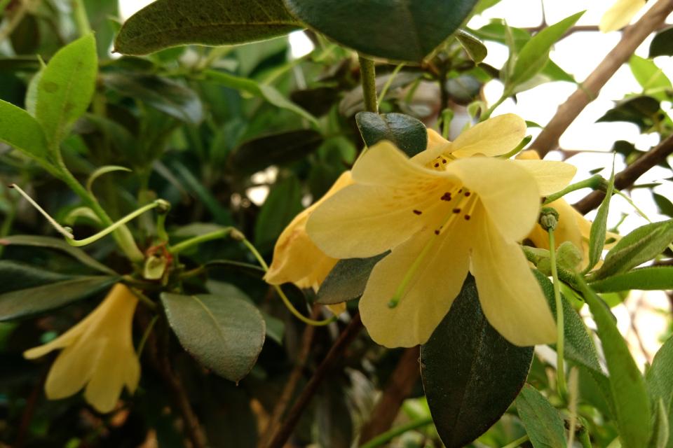 """Цветочки и семенные завязи рододендрона """"Mozari"""""""