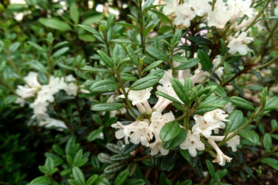 """Рододендрон с ароматными листьями """"Maricee"""""""