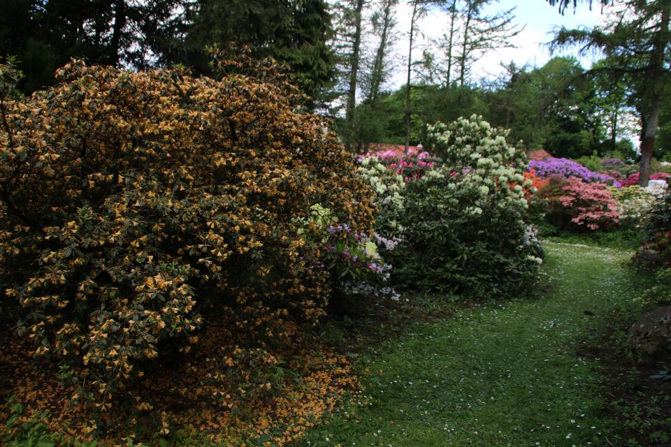 Роскошноцветущий куст рододендрона R. Xanthocodon (желтые цветы)