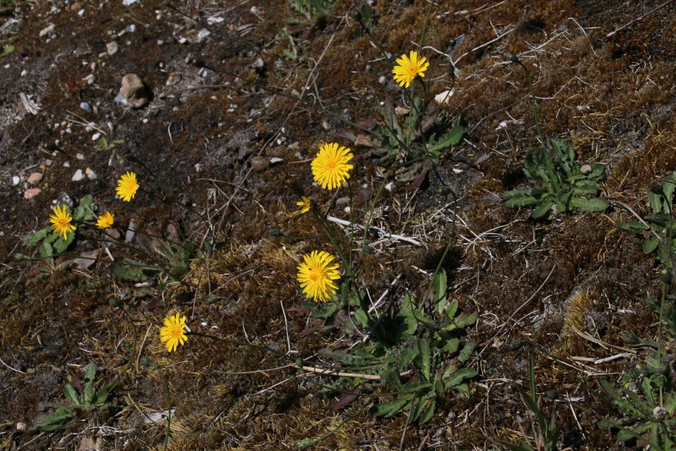 Кульбаба осенняя (лат. Leontodon autumnalis)