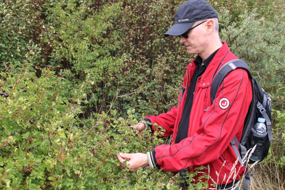 Шиповник колючейший (лат. Rosa pimpinellifolia, дат. klitrose)