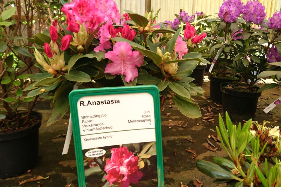 """Вечнозеленый красивоцветущий рододендрон гибридный """"Anastasia"""""""