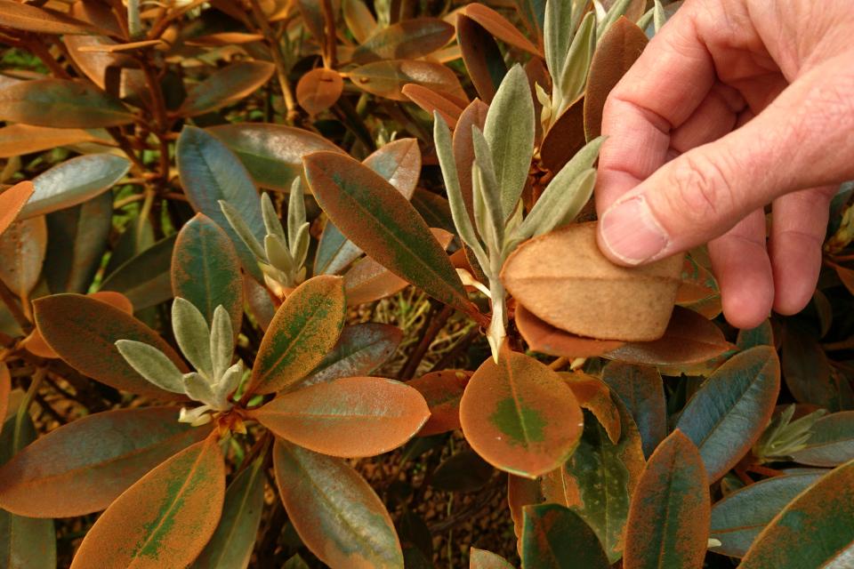 """Листья, покрытые """"ржавчиной"""", у рододендрона Rhododendron taliense Honningduft"""