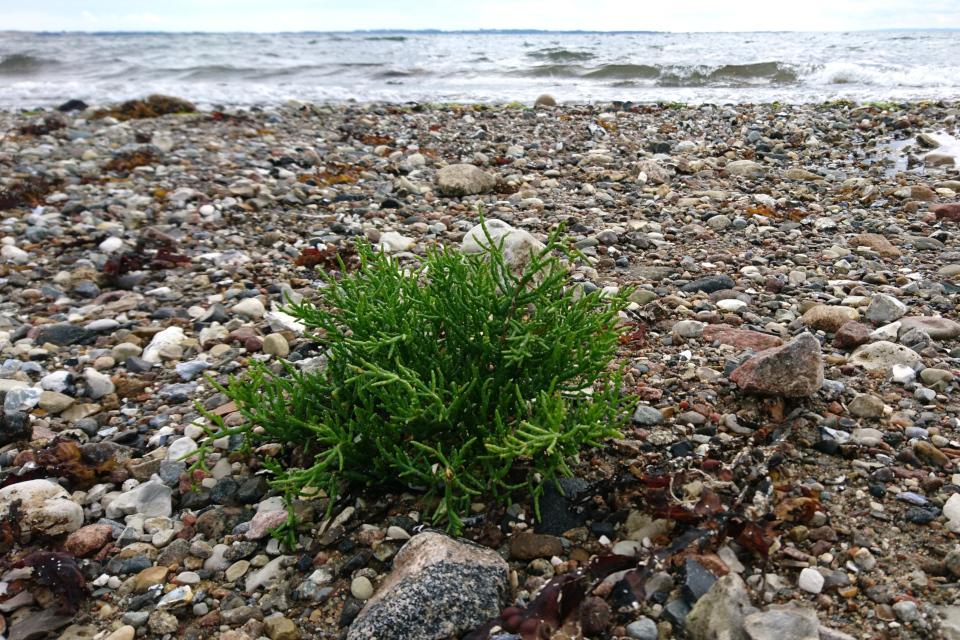 Солерос (лат. Salicornia, дат. salturt) растет на берегу моря