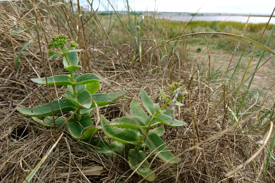 Очиток обыкновенный (лат. Hylotelephium telephium, дат. Sankthansurt)