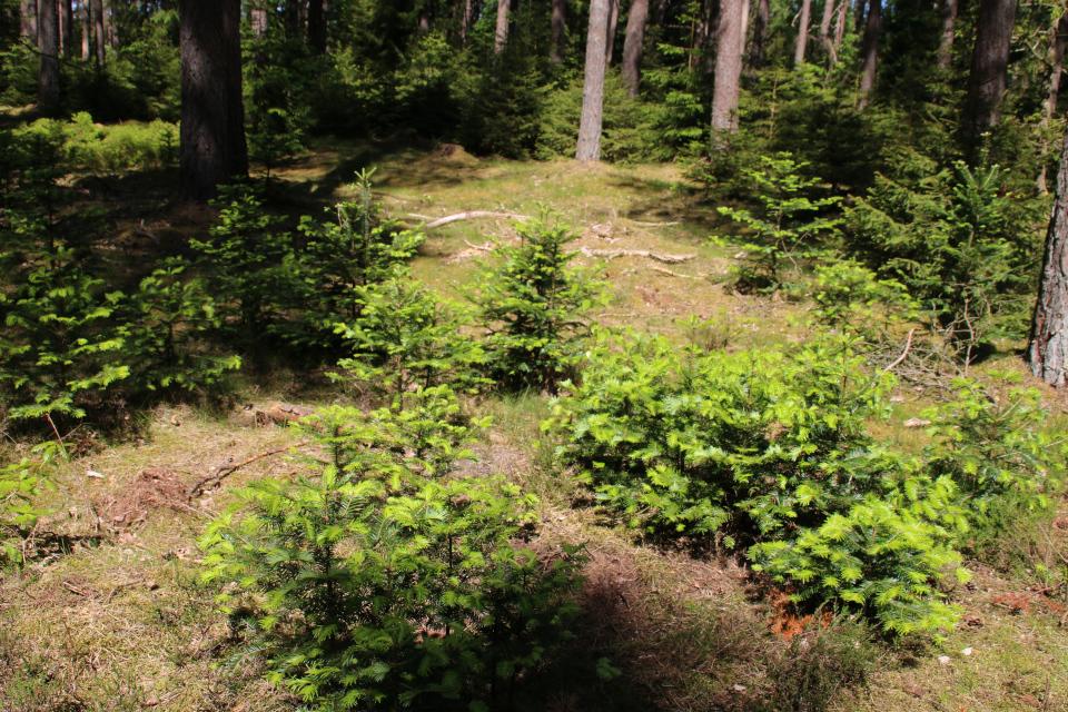 Пихты (Abies grandis) среди сосен, Дания