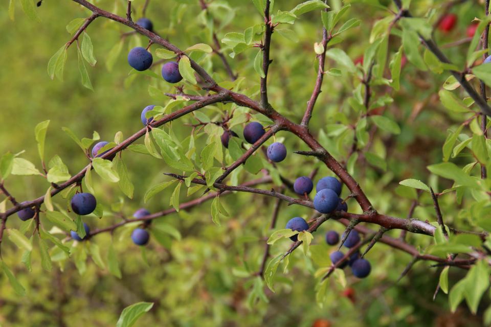 Поспевающие плоды терна. Фото 15 авг. 2019, Остров чаек /Mågeøen