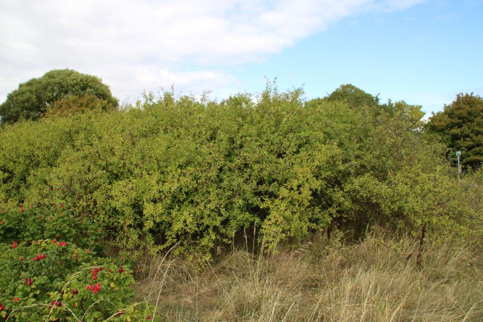 Заросли тёрна (лат. Prunus spinosa), возле которых растет шиповник морщинистый