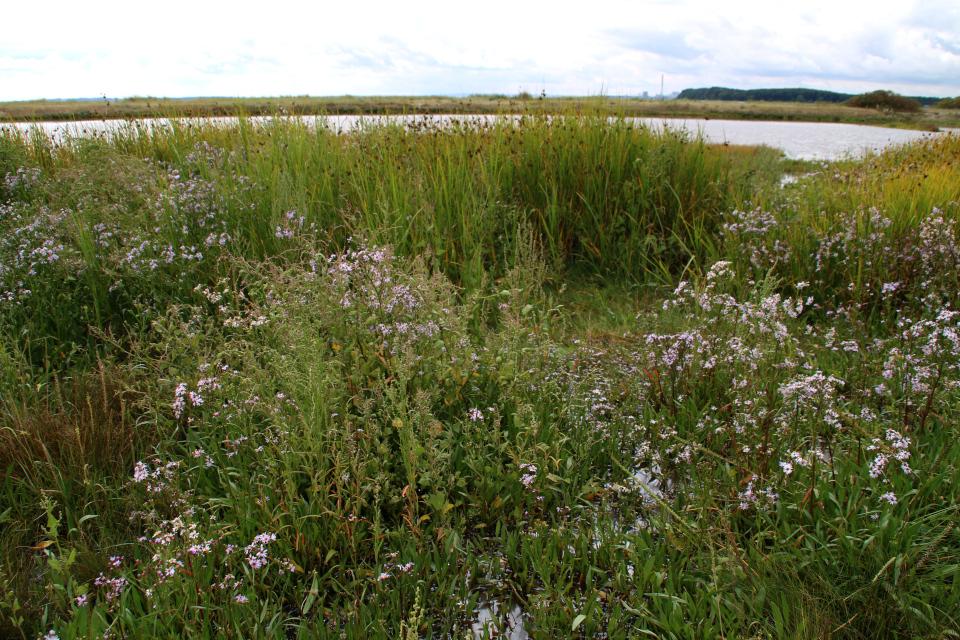 Солончаковые астры растут на почвах, затопленных морской водой, Дания
