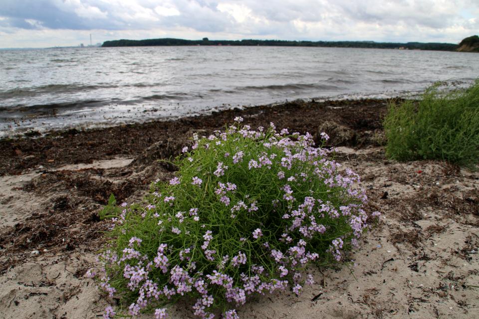 Морская горчица (лат. Cakile maritima, дат. Strandsennep) с цветами