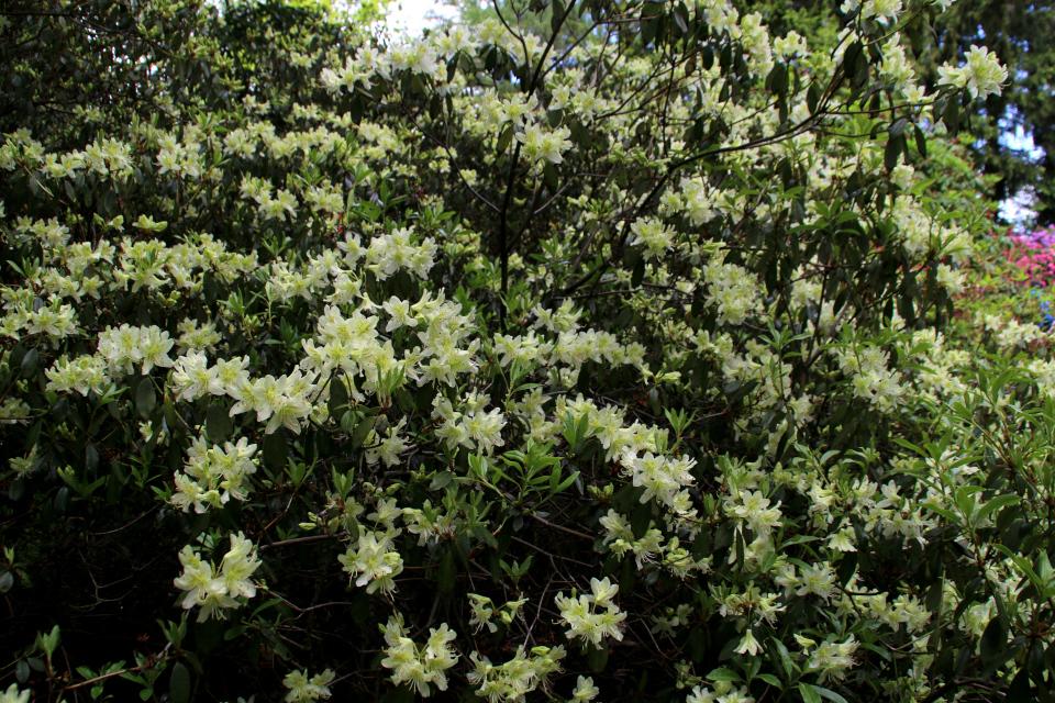 Роскошноцветущий куст рододендрона R. Ambiguum с цветами