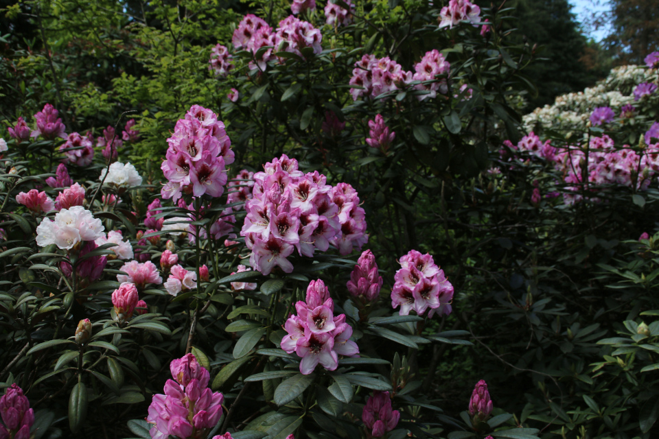 Удлиненные соцветия R. Cassata. Парк рододендронов Тёрринг / Tørring, Дания.